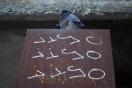 Nicole Panneton - Le pigeon haut perché - Photographie numérique - Crédit Nicole Panneton - 2013